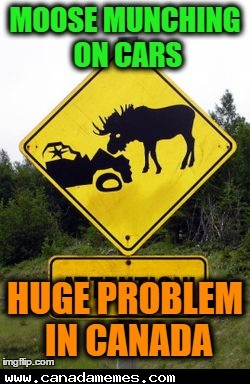 🇨🇦 Watch out for moose munching on cars!