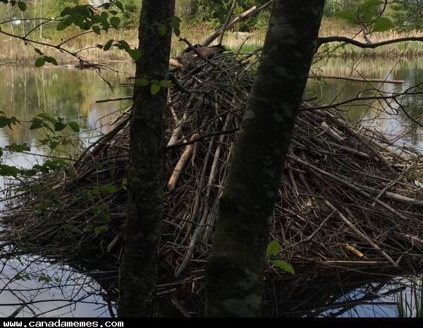 🇨🇦 Canada goose nest on top of a Beaver lodge, eh!