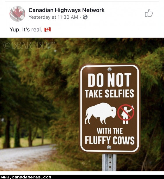 🇨🇦 DO NOT take selfies with the fluffy cows!