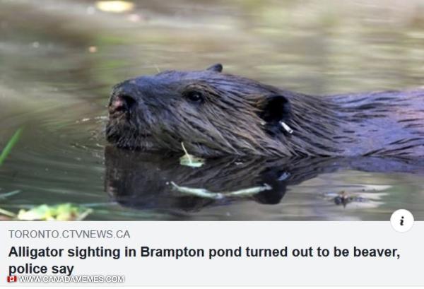 Beavers: the Canadian alligator.