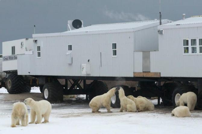 Polar Bear Safari, Churchill, Manitoba