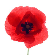 Poppies pictures flowers bedwalls meaning of poppies what do poppy flowers mean mightylinksfo