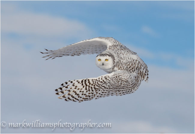 snowy owl adaptations diagram sps audiovox wiring snow online manual e books great horned drawings finding owls in winter mark