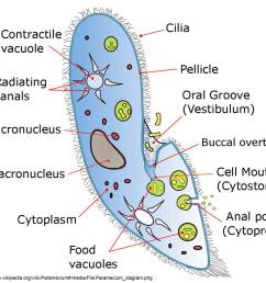 diagram of paramecium courtesy of wikipedia try to identify some of these components in the pictures below  [ 1200 x 1059 Pixel ]