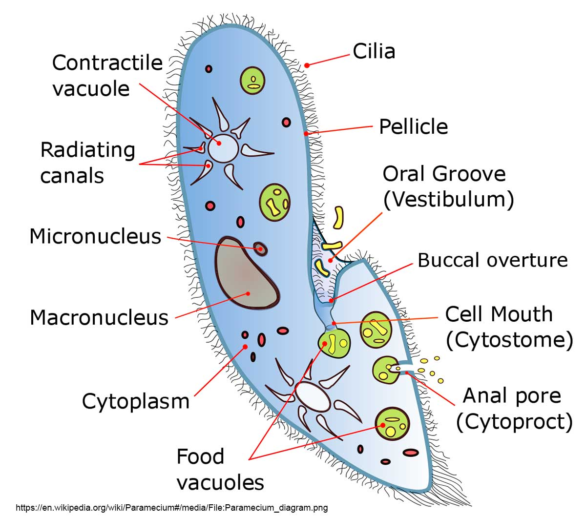 hight resolution of diagram of paramecium courtesy of wikipedia try to identify some of these components in the pictures below