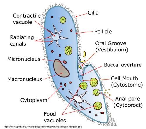 small resolution of diagram of paramecium courtesy of wikipedia try to identify some of these components in the pictures below