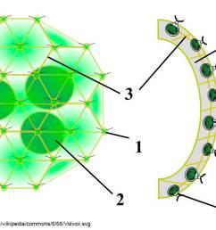 diagram from wikipedia by sundance raphael volvox colony 1 chlamydomonas like cell 2 daughter colony 3 cytoplasmic bridges 4 intercellular gel  [ 1200 x 749 Pixel ]