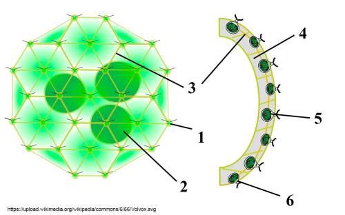 small resolution of diagram from wikipedia by sundance raphael volvox colony 1 chlamydomonas like cell 2 daughter colony 3 cytoplasmic bridges 4 intercellular gel