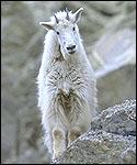 ip3_goat