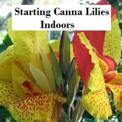 Gardening – Starting Canna Lilies Indoors