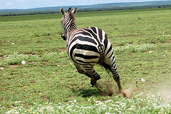 No, no, no! Your Horse, not your Zebra!