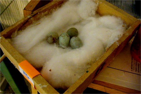 Τα αυγά σε αναμονή, πριν τη 14ήμερη επώαση.
