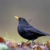 طريقة تربية طائر الجحومية