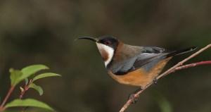 Eastern-Spinebill-C-Ian-Wilson-2015-www.birdlife.org_.au_.jpg