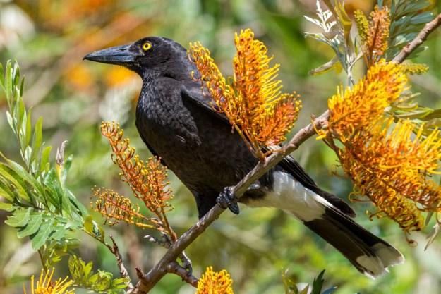 Pied-Currawong-C-Harry-Charalambous-2014-www.birdlife.org_.au_.jpg
