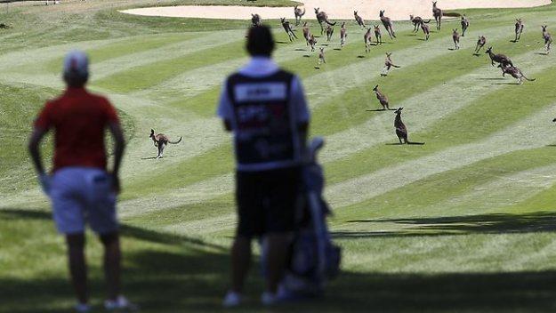458322-kangaroos-golf-course