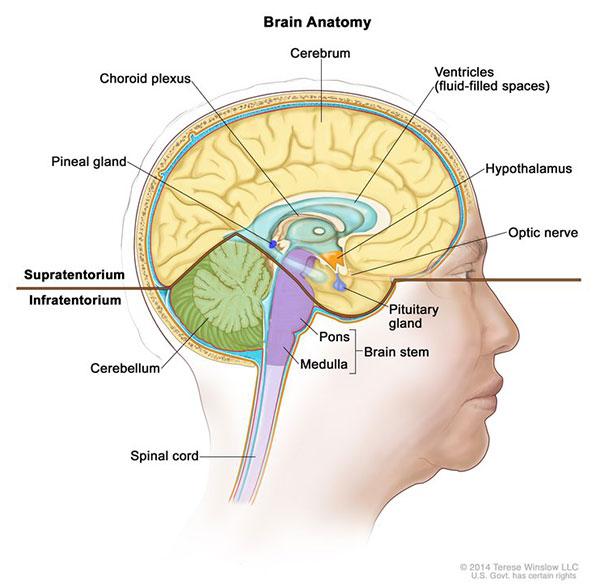 Posterior Fossa Cerebellum Brain Stem