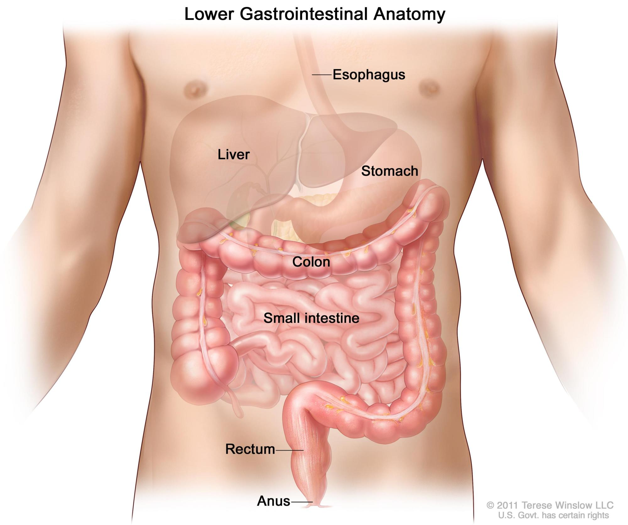 hight resolution of gastrointestinal digestive system anatomy shows esophagus liver stomach colon