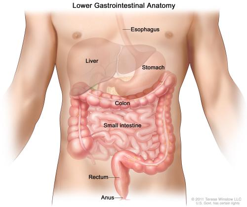 small resolution of gastrointestinal digestive system anatomy shows esophagus liver stomach colon