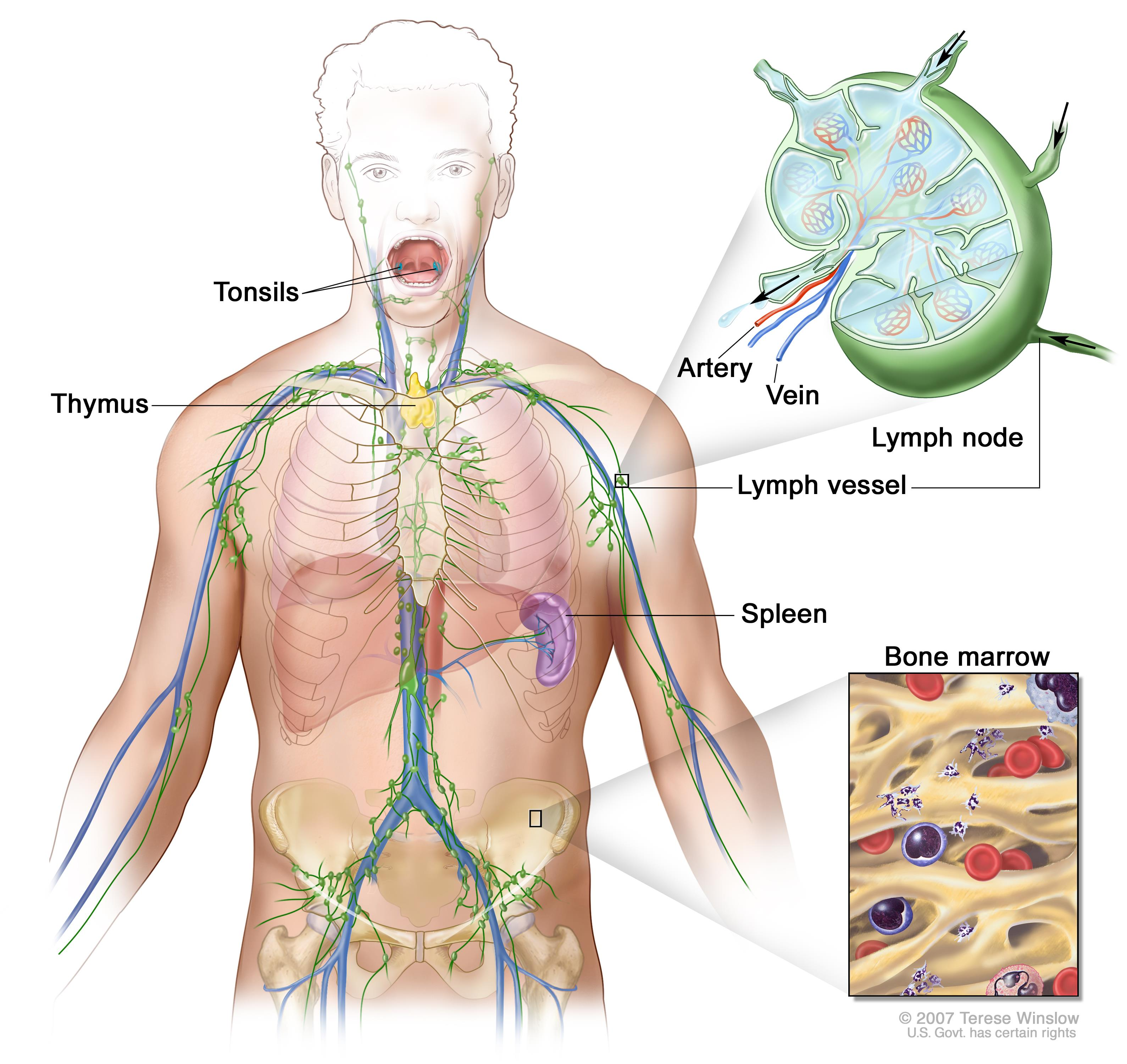 avian anatomy diagram labeled 2 speed 3 phase motor wiring adult non-hodgkin lymphoma treatment (pdq®)—patient version - national cancer institute