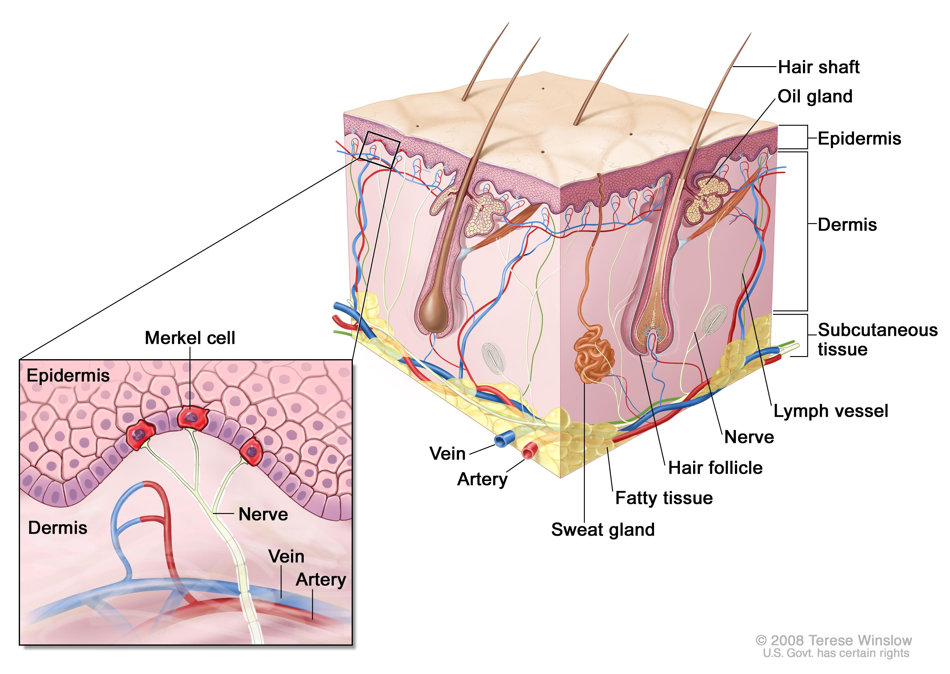 parts of the eyelid diagram ac solid state relay wiring merkel cell carcinoma treatment (pdq®)—health professional version - national cancer institute