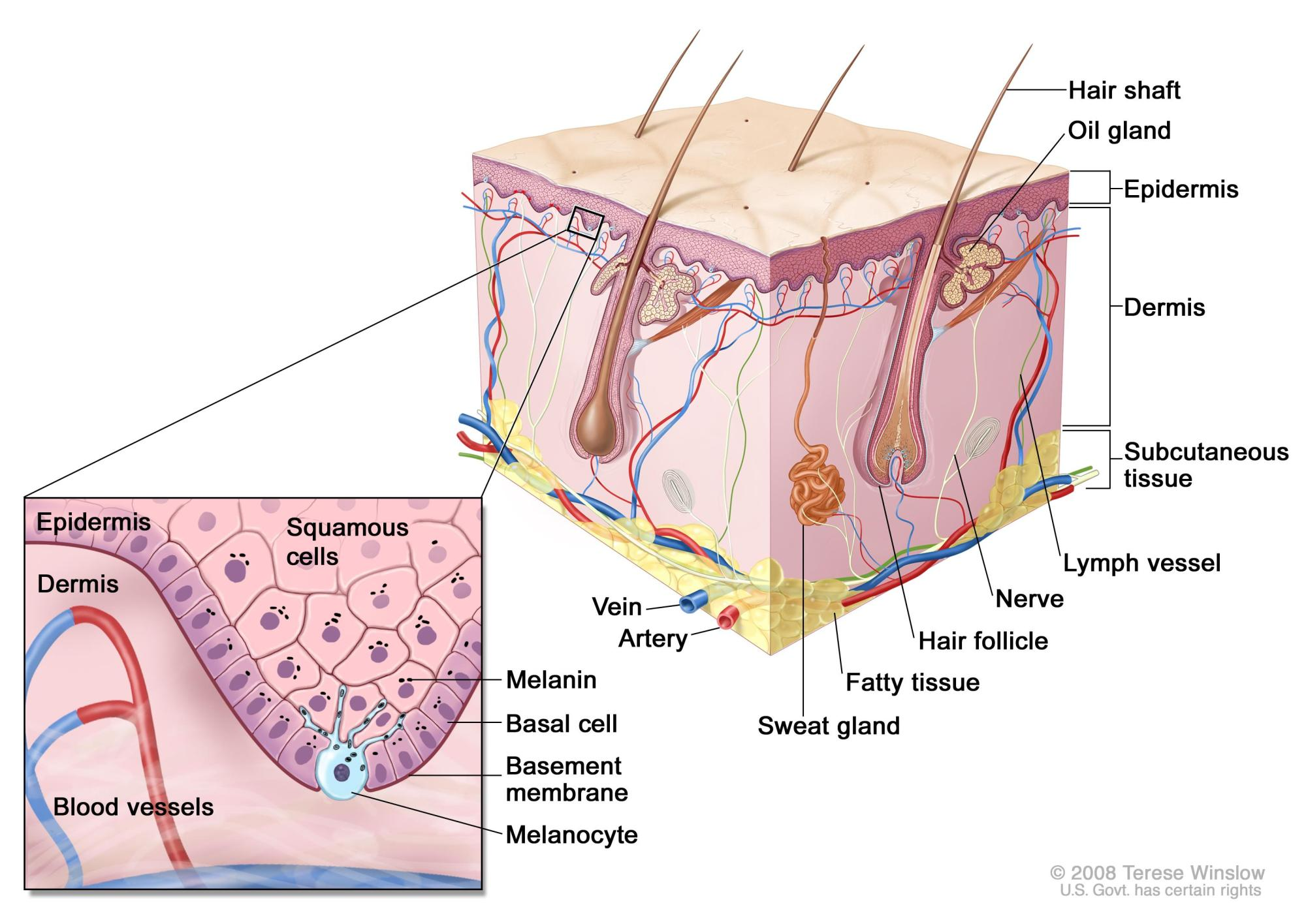 hight resolution of enlarge schematic representation of normal skin