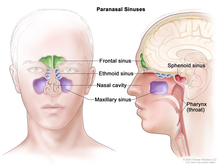 human sinus cavities diagram how to wire a plug outlet definition of paranasal - nci dictionary cancer terms national institute