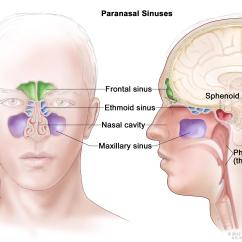 Diagram Of The Nose And Its Functions Schematic Am Radio Receiver Nasal Passage Great Installation Wiring Paranasal Sinus Cavity Cancer Treatment Pdq Patient Rh Gov Septum Anatomy