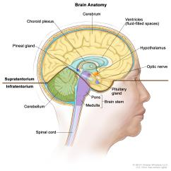 Reticular Formation Diagram Block Of Computer Memory Adult Central Nervous System Tumors Treatment Pdq