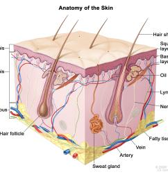 anatomy of the skin showing the epidermis including the squamous cell and basal cell layers dermis subcutaneous tissue and other parts of the skin  [ 3150 x 2523 Pixel ]