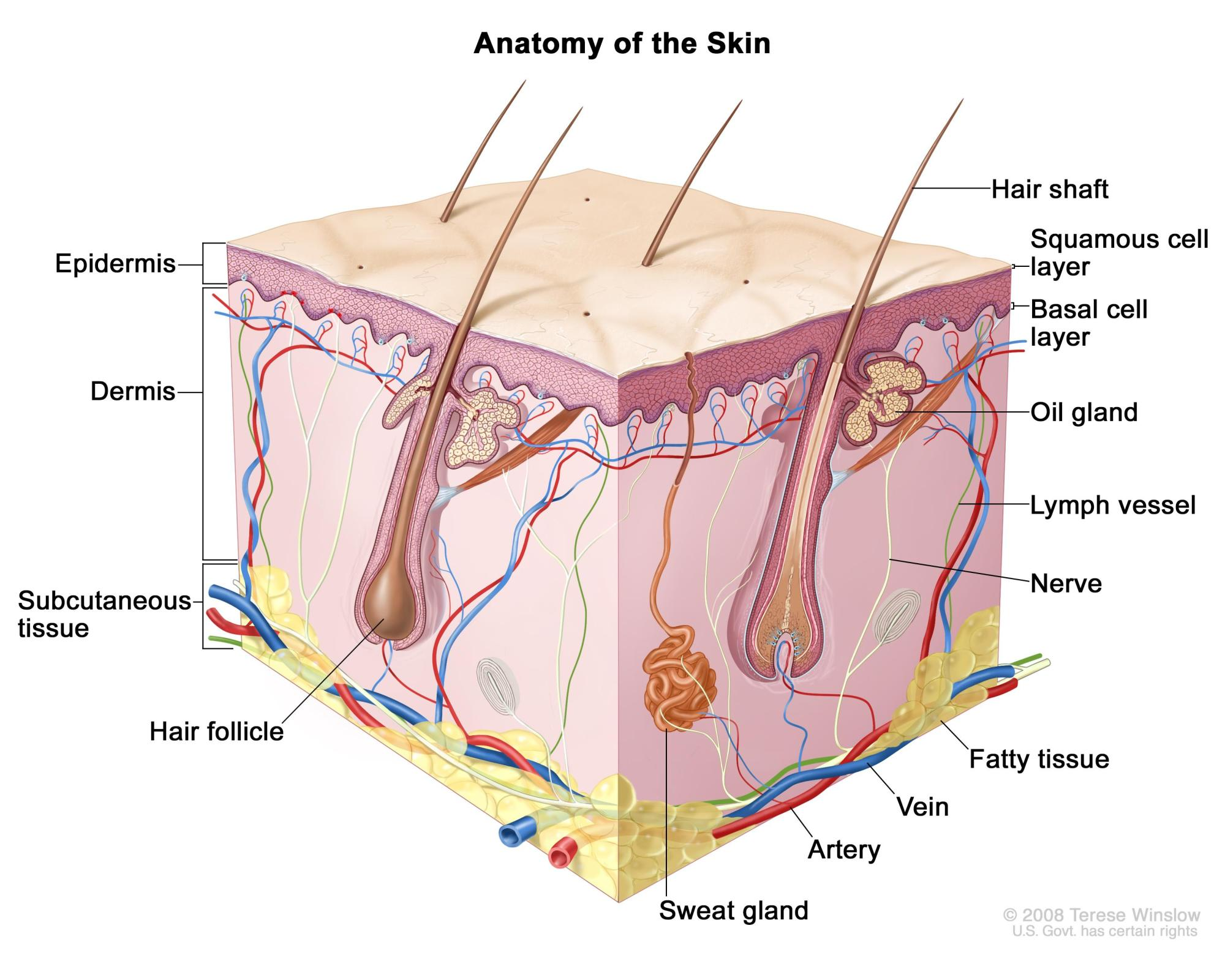 hight resolution of anatomy of the skin showing the epidermis including the squamous cell and basal cell layers dermis subcutaneous tissue and other parts of the skin