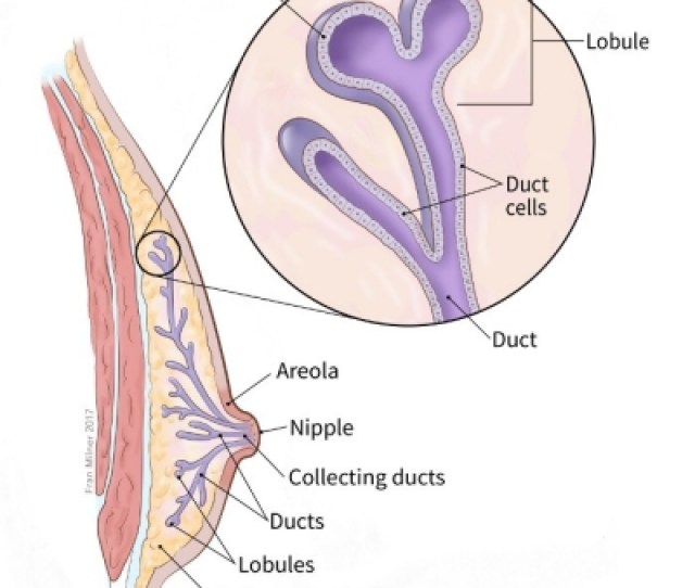 Illustration Showing Structure Of The Male Breast Including Location Of The Ducts Areola Nipple