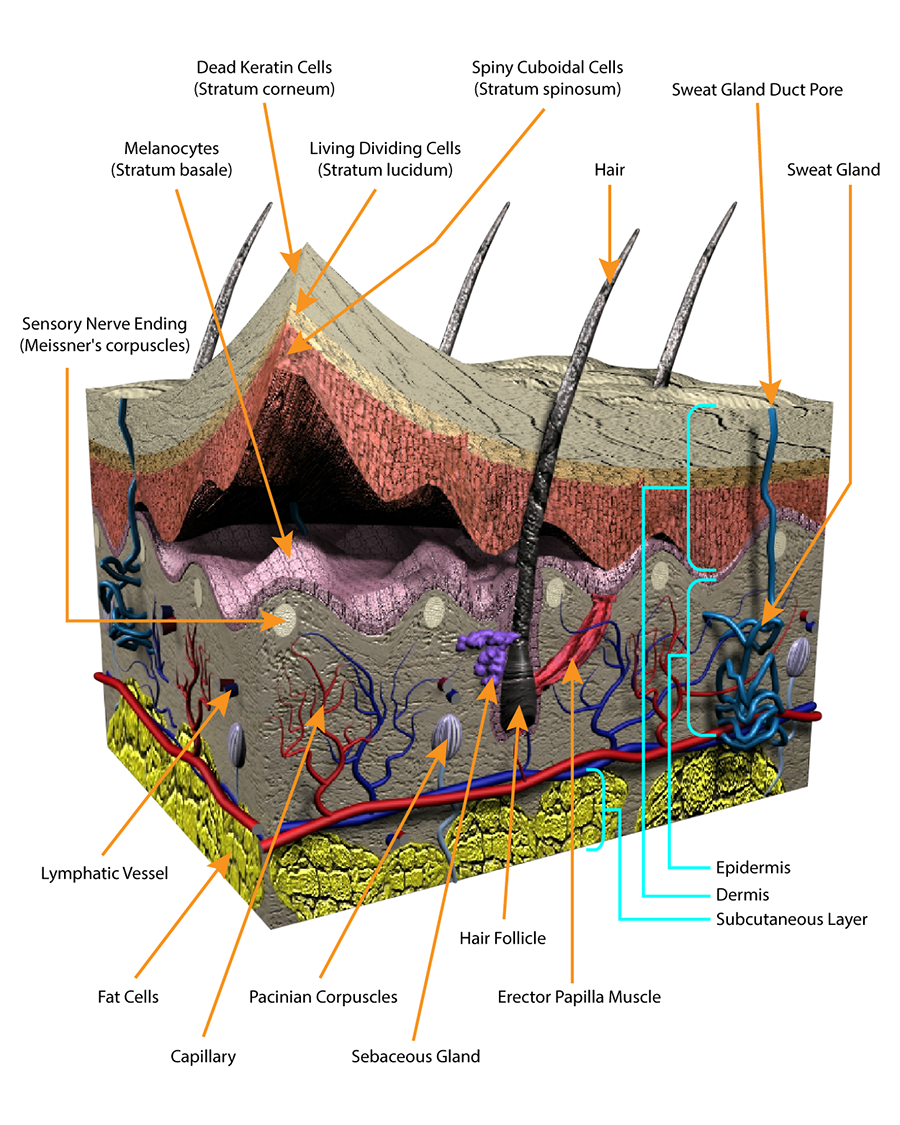 medium resolution of hair follicles protrude into the dermis layer and help regulate body temperature microscopic pores on the surface of the skin are connected to sweat glands