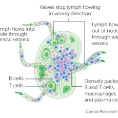 Where Are My Lymph Nodes Diagram Pioneer Deh P8600mp Wiring The Lymphatic System And Cancer Research Uk A Node