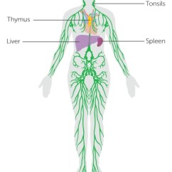 Diagram Nodes Lymphatic System Animal Cell Structure And Function The Cancer Research Uk