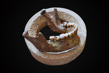 Lower jaw and teeth of Mesolithic hunter-gatherer (Credit: Olivia Cheronet)
