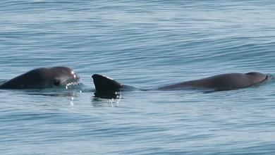 Photo of Vaquitas marinas a un paso de la extinción, conoce el plan que las podrá salvar