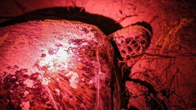 Photo of Continúa protección de la tortuga marina en Isla Mujeres