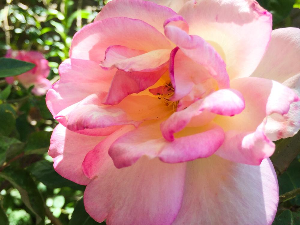 Simple things roses