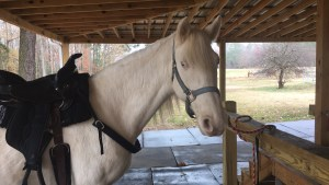Luna saddled