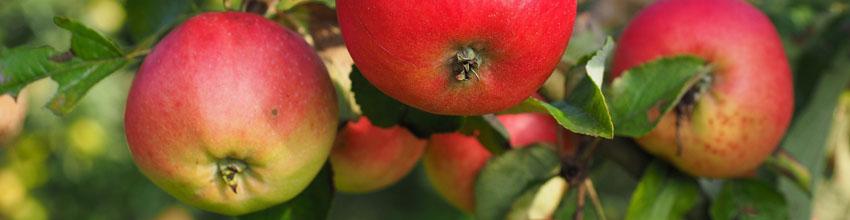 Äppelkvist2