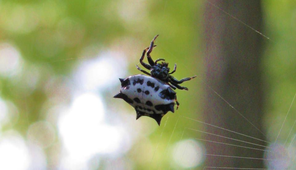 Creepy Strange Triangle Area Spiders - 1