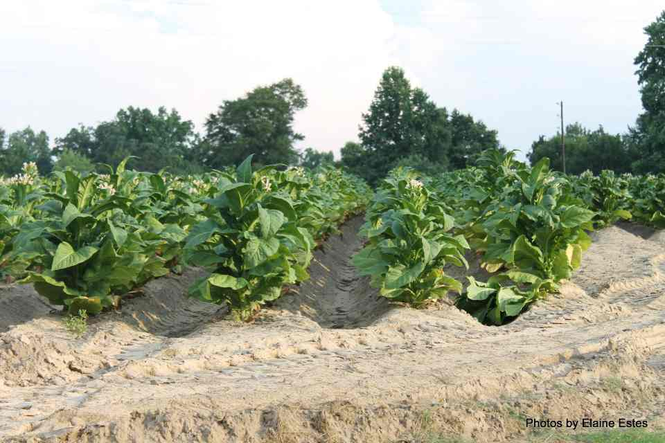 Tobacco Planting and Harvesting in NC's Olden Days 6