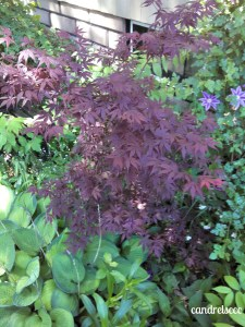 Dad's Japanese maple