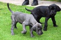 cuccioli di alano