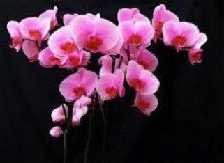 orkide-bakimi-4