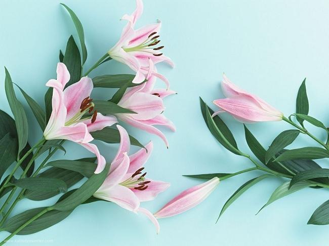 zambak-bitkisinin-bakimi-yetistirilmesi