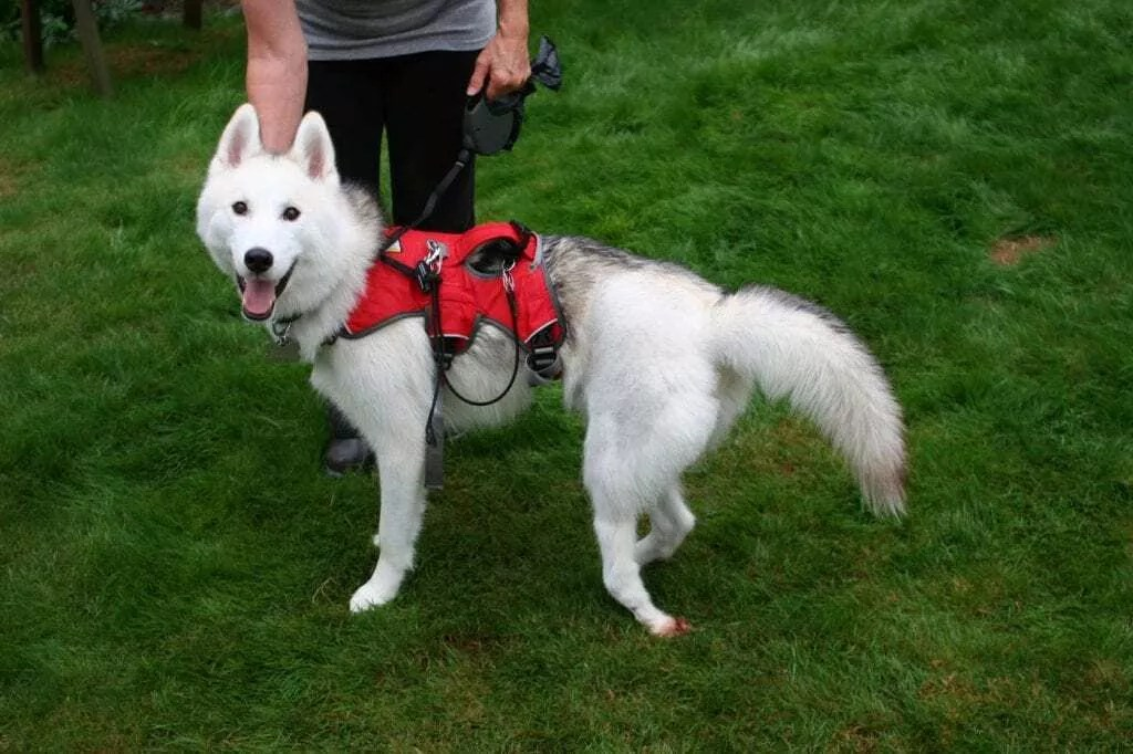 Hunter, a 1-1/2-year-old Siberian Husky recovering from surgery to correct an improperly set broken leg.