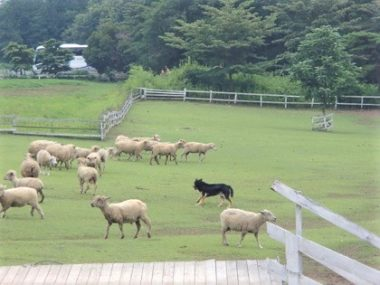 羊たちと牧羊犬