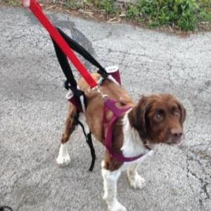 Dog in sling and harness